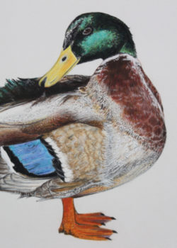 Wildlife Portrait Artist